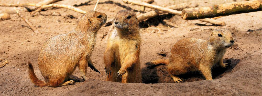 This Animal Volunteer Has a Heart for Prairie Dogs